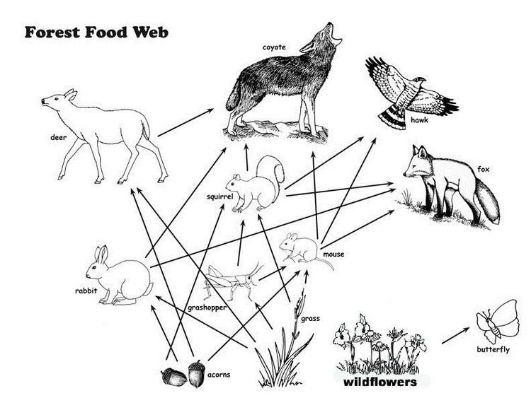 Forest Food Web Coloring Page Coloring Pages Food Web Birthday