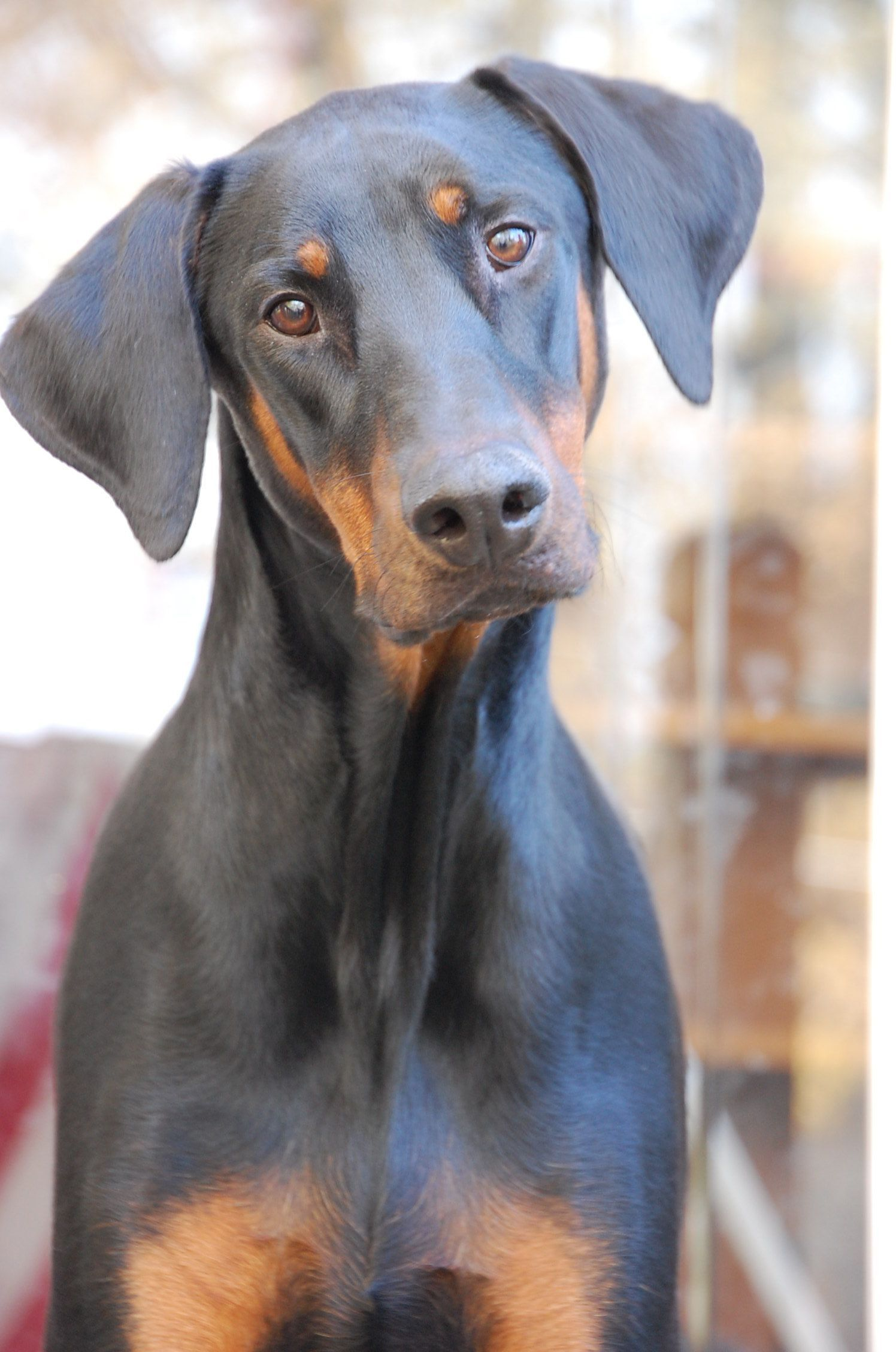 Blue Doberman Without Cropped Ears Toutous Animaux Chien