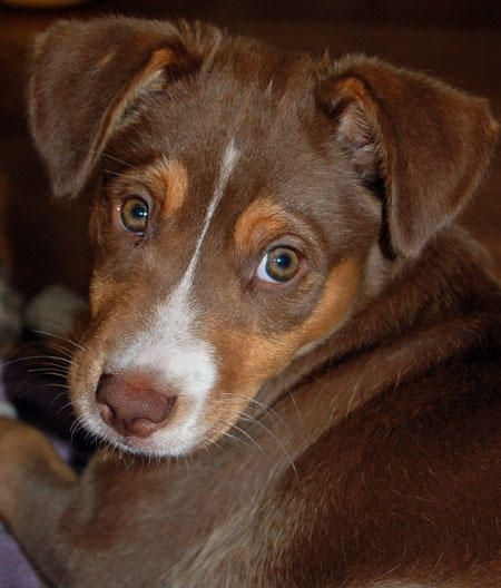 Roscoe The Australian Shepherd Mix Australian Shepherd Cute