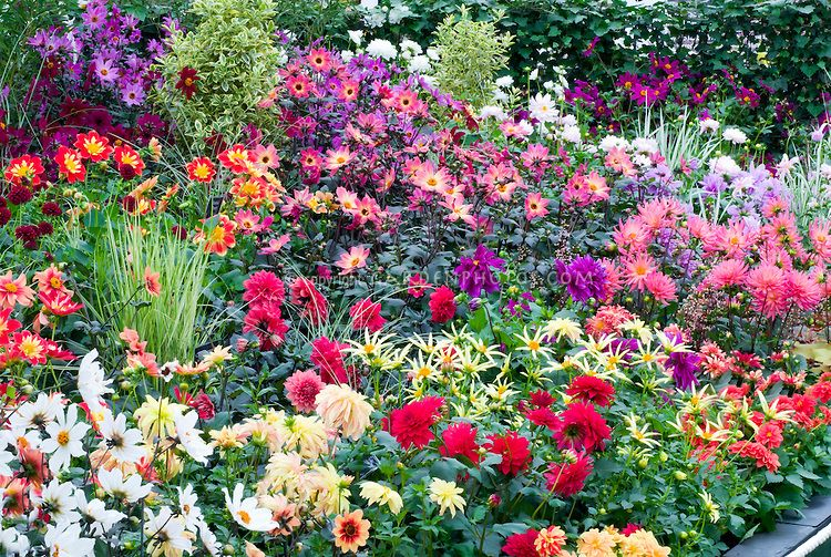 1000 images about Dahlia Gardens on Pinterest Gardens