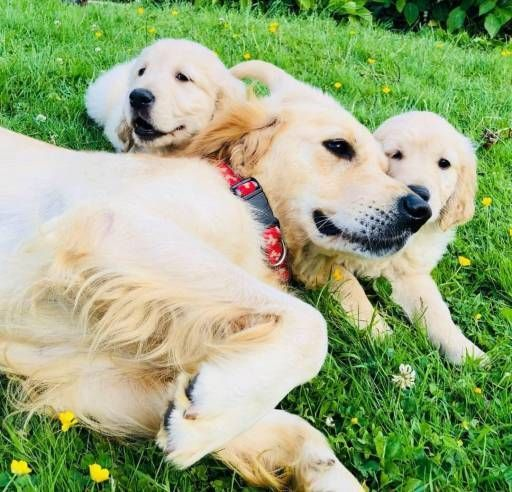 Golden Retriever Dogs For Sale In United States California Los