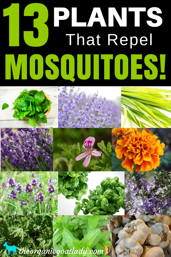 13 Plants That Repel Mosquitoes Mosquito Repelling Plants