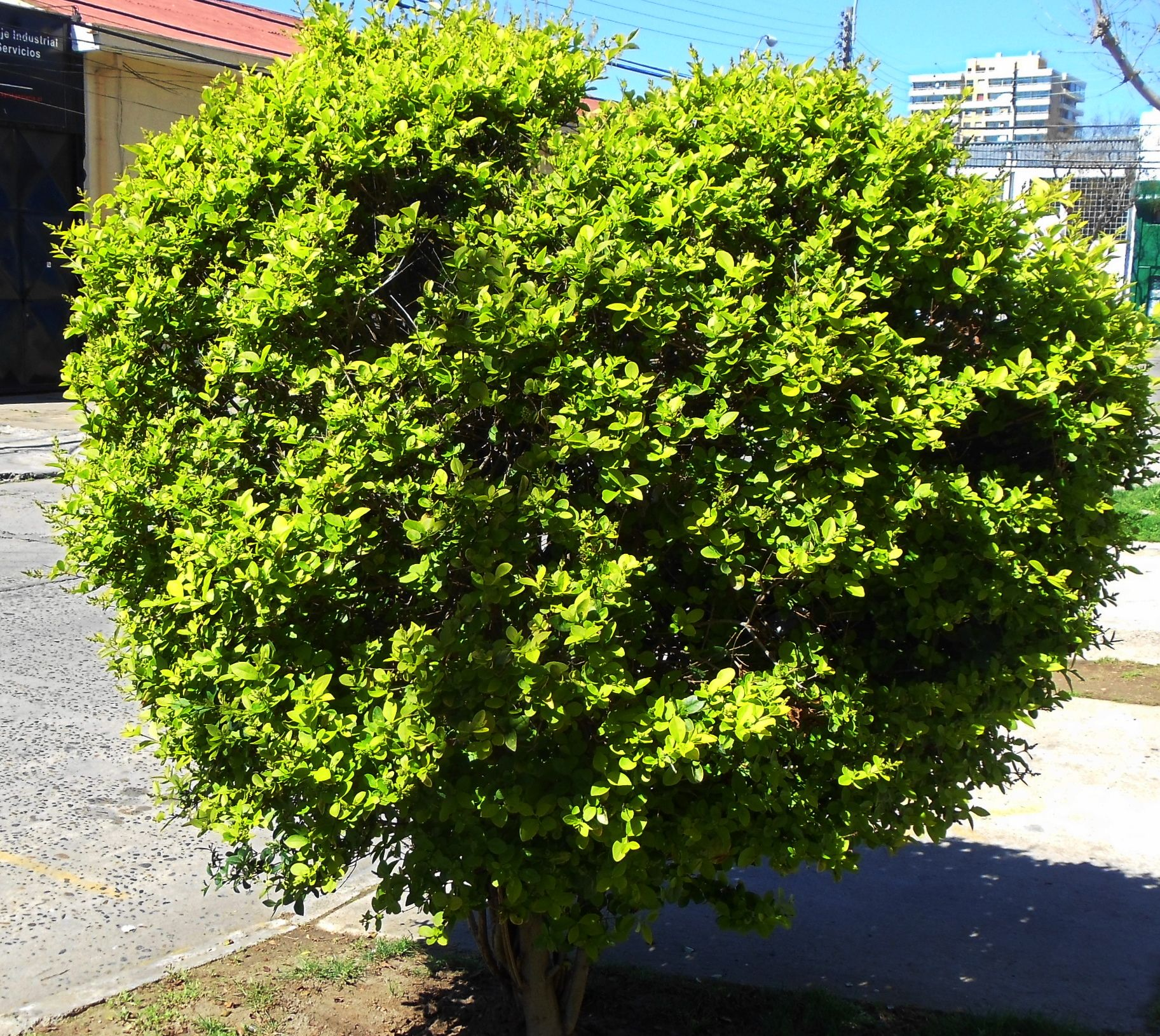 Arboles ornamentales de hoja perenne for Porque hay arboles de hoja perenne