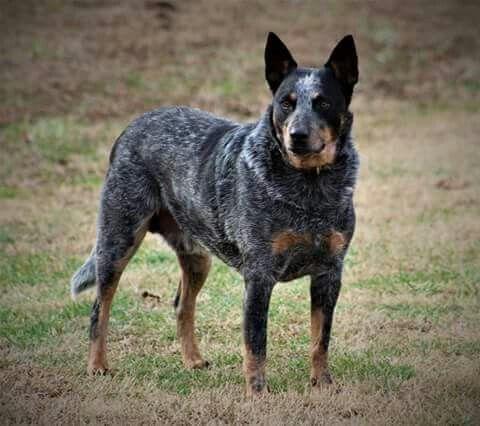 Australian Cattle Dog / Blue Heeler. Spoke is such a handsome boy. Thanks Mack Rae photography.