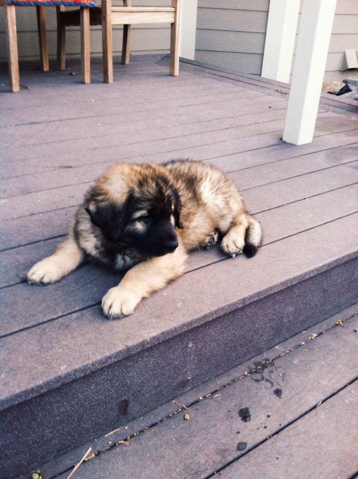 Leonberger Looks Just Like Rikers Leonberger Puppy Leonberger