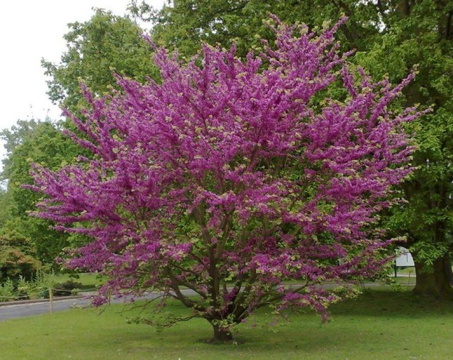 Arbre de jud e cercis siliquastrum un arbuste aux - Arbustes d ornement exterieur ...