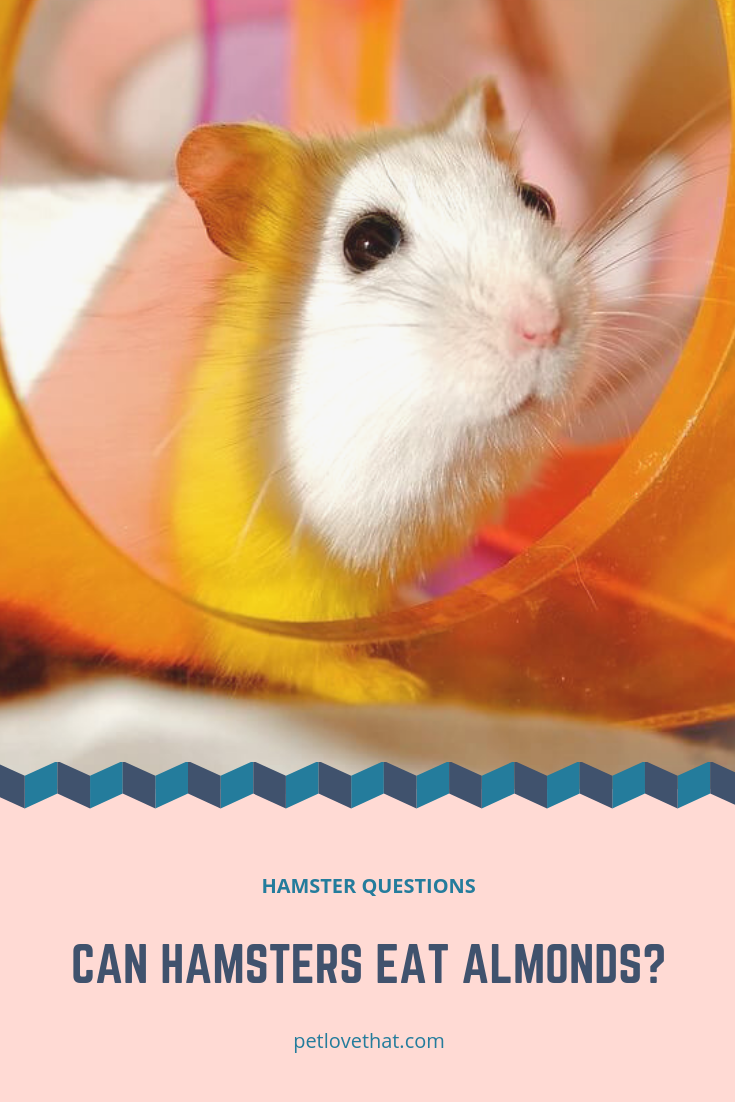 Can Hamsters Eat Almonds (With images) Hamster eating