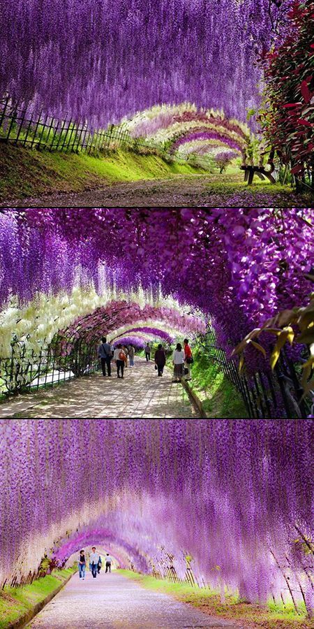 So This Is The Wisteria Flower Tunnel In Japan I Totally Have A Background Like This On Neopets Places To Travel Travel Beautiful Places