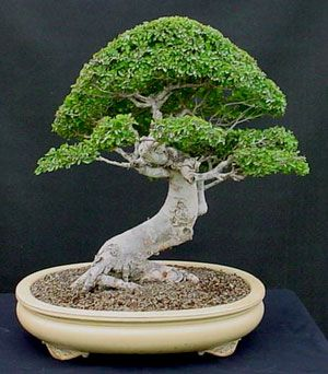 How To Create And Maintain A Chinese Elm Bonsai Part 1 Dallas Bonsai Blog Elm Bonsai Chinese Elm Bonsai Bonsai Seeds