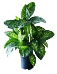 Dumb cane dieffenbachia poisonous house plants toxic for Low light non toxic house plants