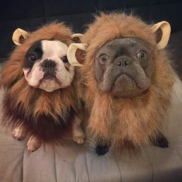 Mannny & Frank the French Bulldogs in Lions Costumes for Halloween.