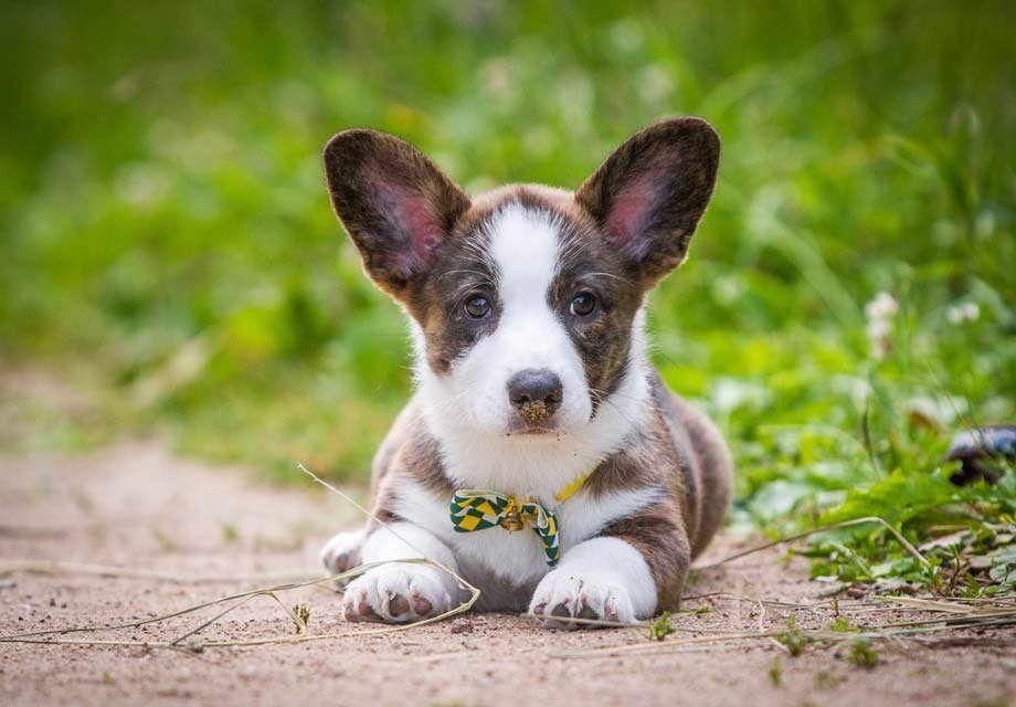 Corgi Rescue Sacramento Ca Cardigan Welsh Corgi Puppies Corgi Puppies For Sale Corgi Dog Breed