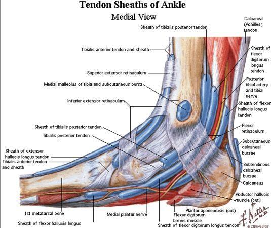 Ankle Tendons Diagram - DIY Enthusiasts Wiring Diagrams •
