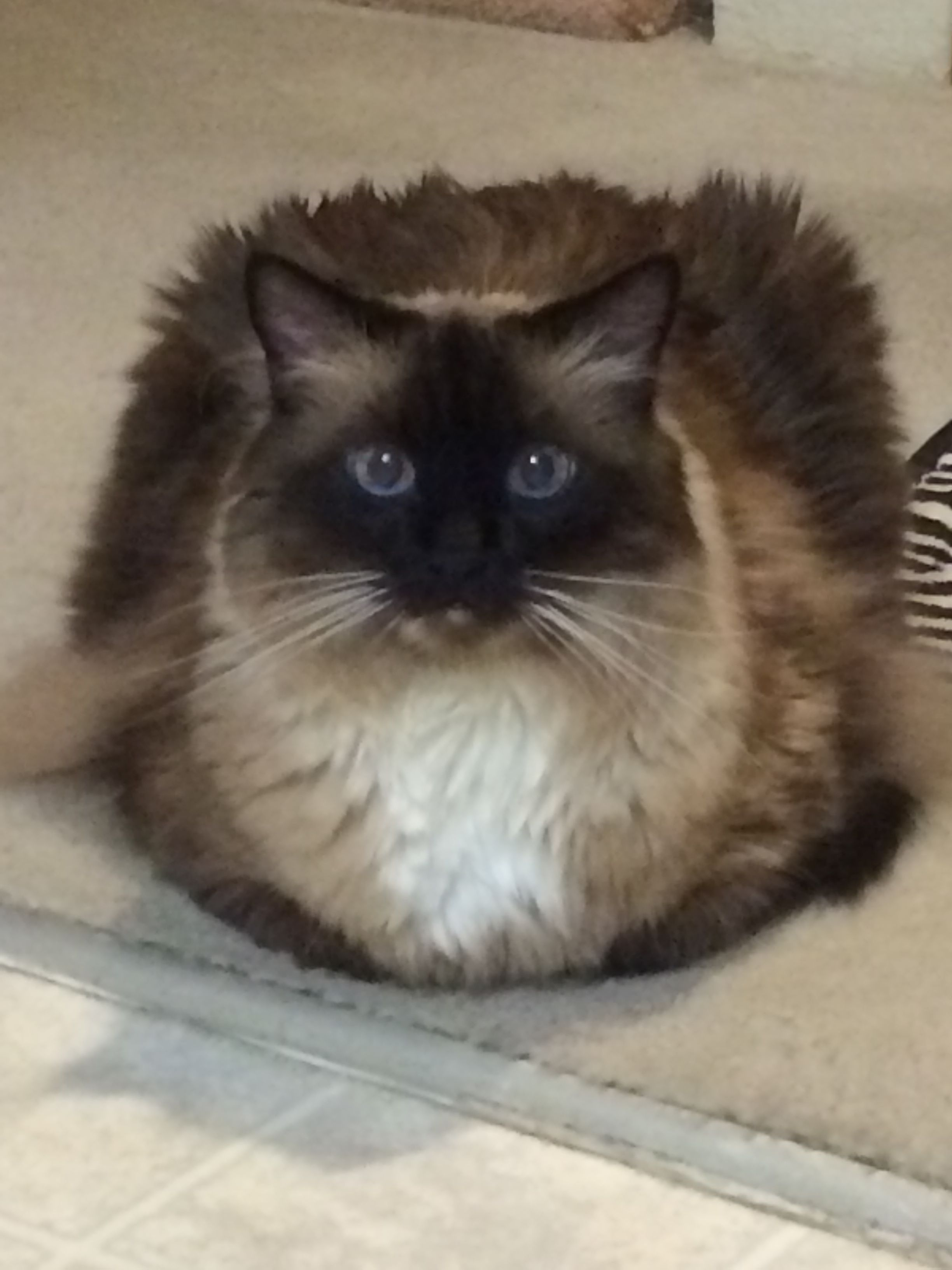 Himalayan Cats Are The Result Of Crossbreeding Siamese With