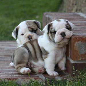 Baby English Bulldog Puppies