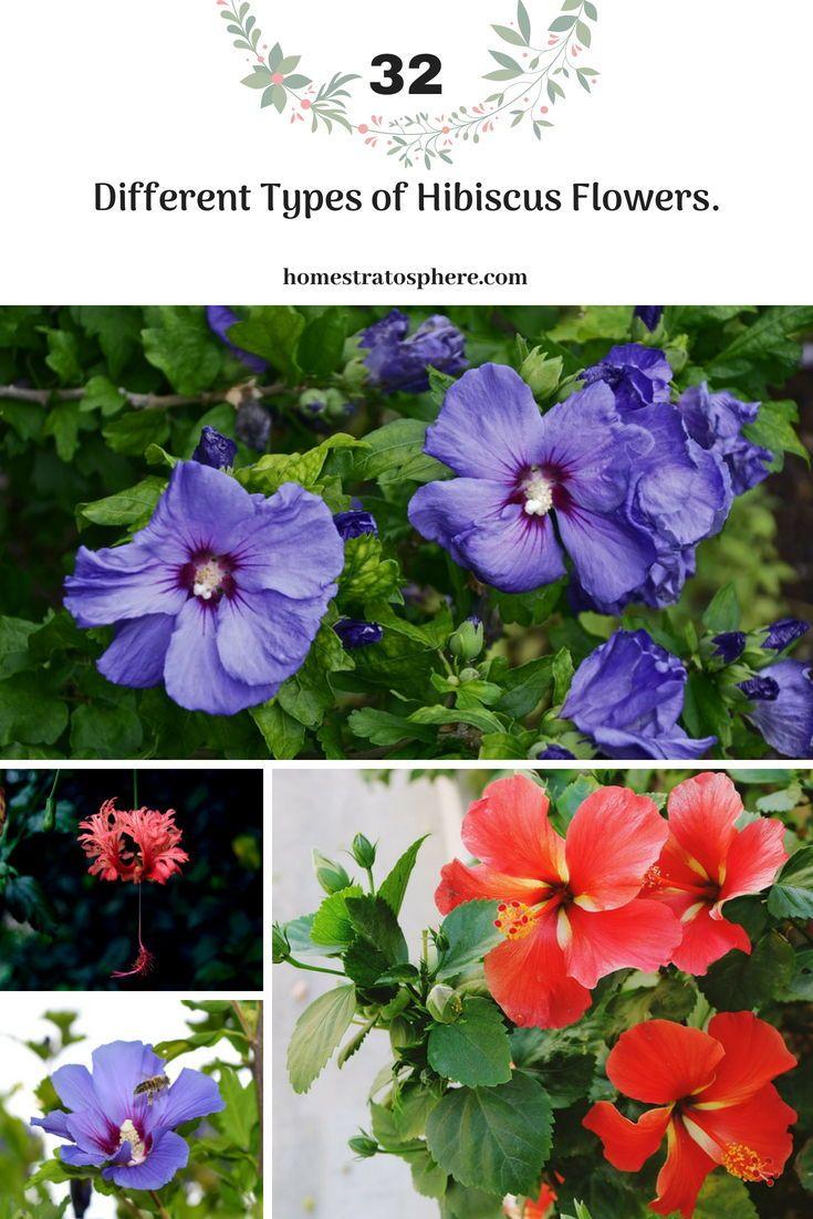 32 Different Types Of Hibiscus Flowers Pinterest Hibiscus