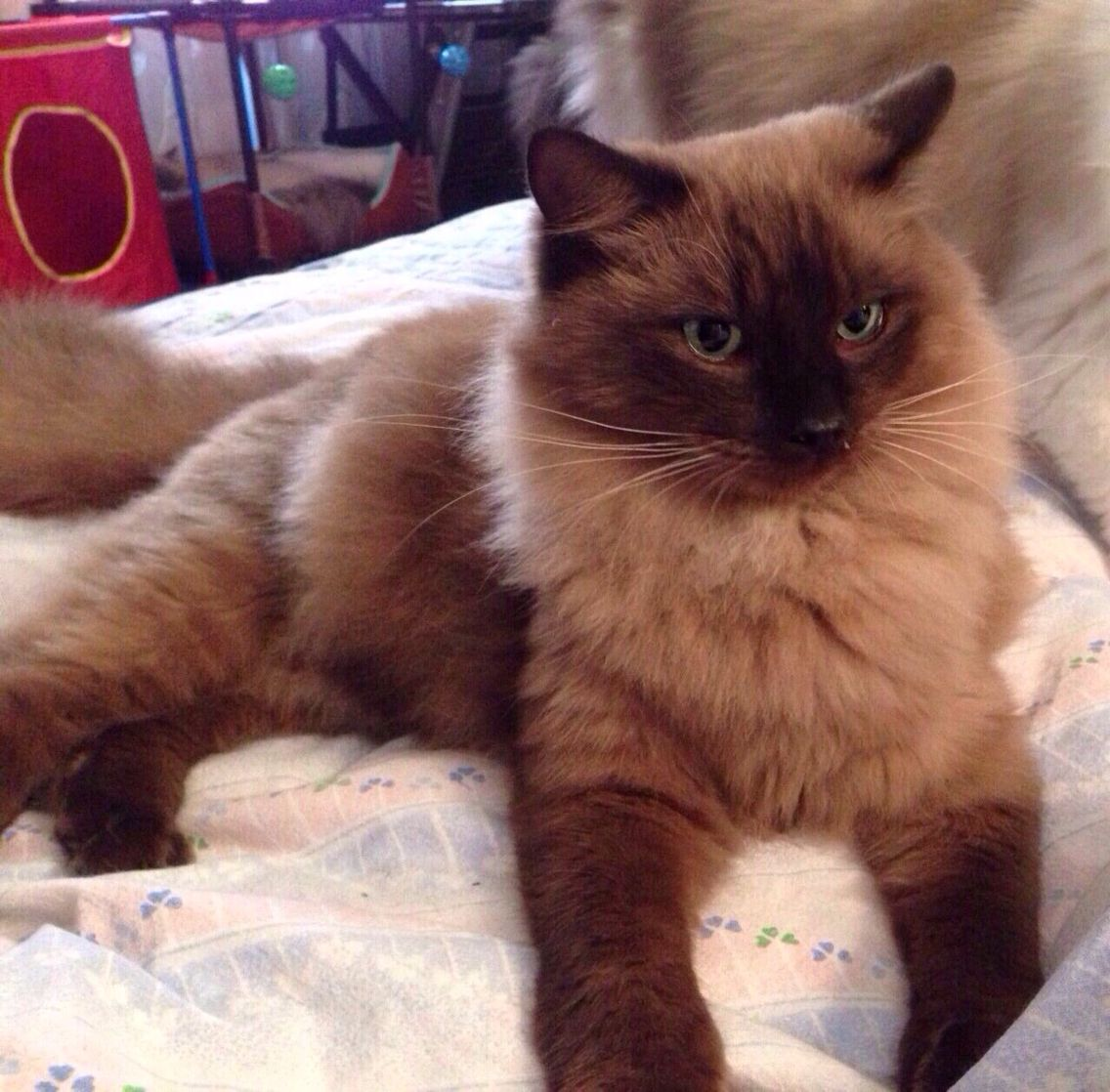 Ragdoll 13 week chocolate seal point | Ragdoll kittens and cats ...