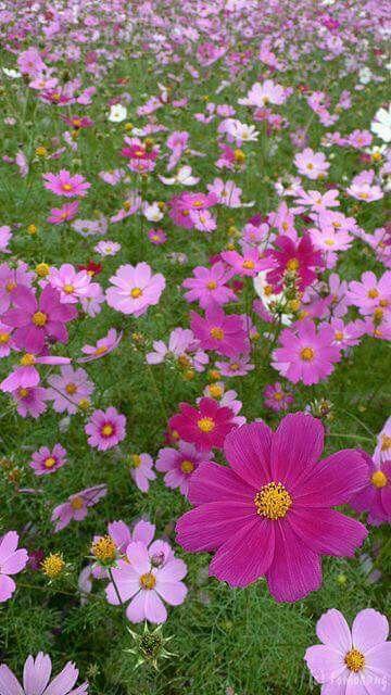 Prachtig Cosmos Flowers Pink Garden Beautiful Flowers