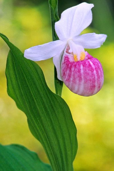 acaadbd20 Travelers can view more than 10,000 of the blooms along Minnesota's Lady  Slipper Scenic Byway, where they are at their best in late June to early  July.