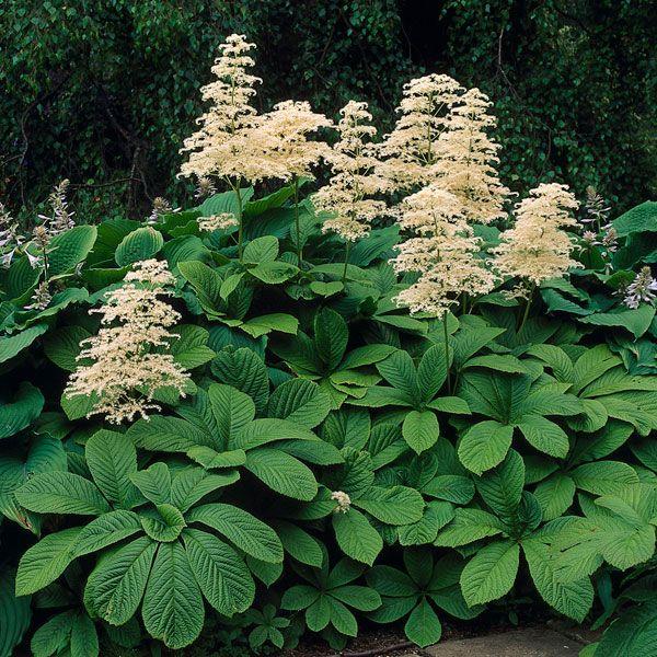 Fingerleaf Rodgersia Rodgersia Aesculifolia Garden Shrubs Shade Plants Plants
