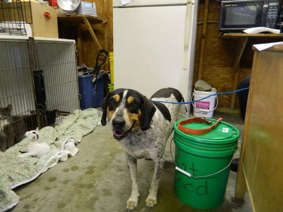Bluetick coonhound f 4 years 141057 named suzy in