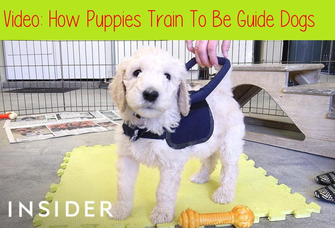 How Puppies Train To Be Guide Dogsfor 70 Years The Guide Dog