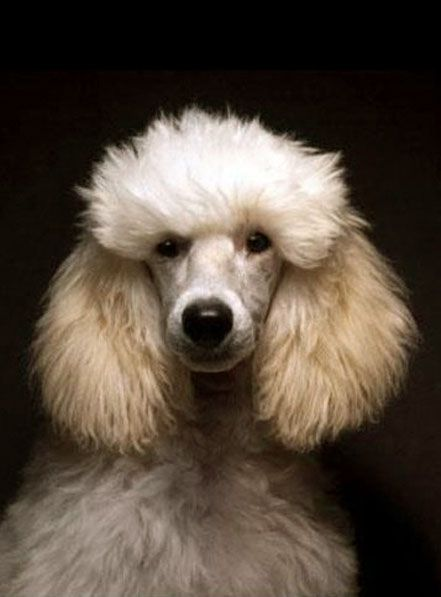 Cats Made Easy To Understand With This Article Poodle French