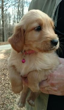 Golden Retriever Puppy For Sale In Alpharetta Ga Adn 23901 On Puppyfinder Com Gender Female Age 8 Golden Retriever Golden Retriever Puppy Puppies For Sale