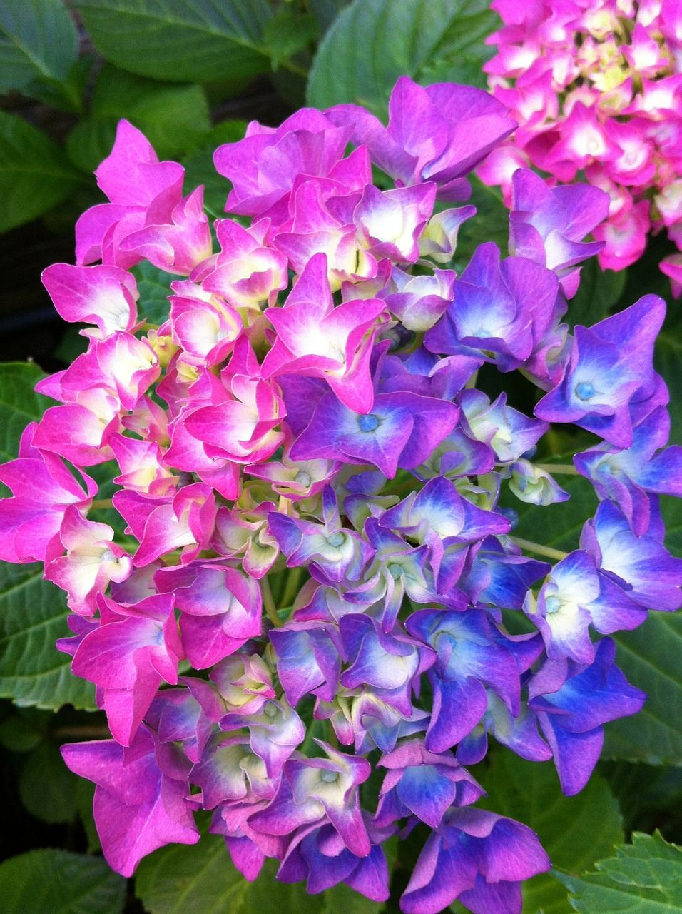 how to take care of hydrangea plants