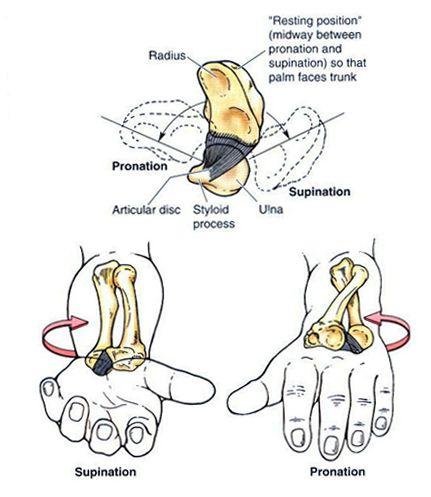 pronation supination | HumerusRadiusUlna | Pinterest | Anatomy