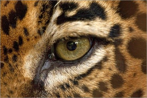 leopard eye close up - photo #22