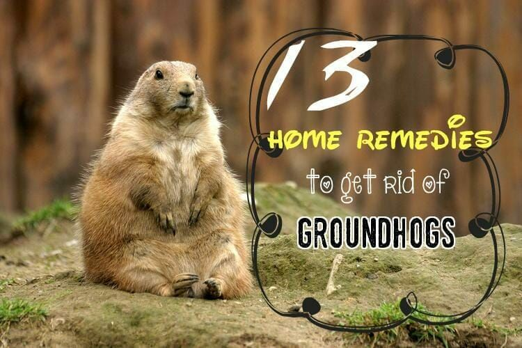 How To Get Rid Of A Groundhog In My Backyard