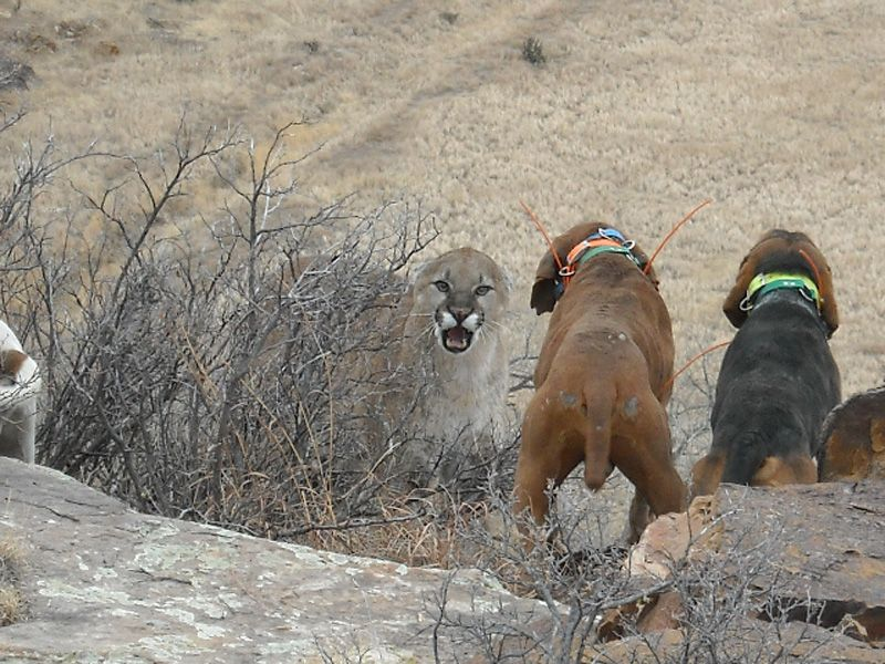 Hunting Mountain Lion and other compromised beasts