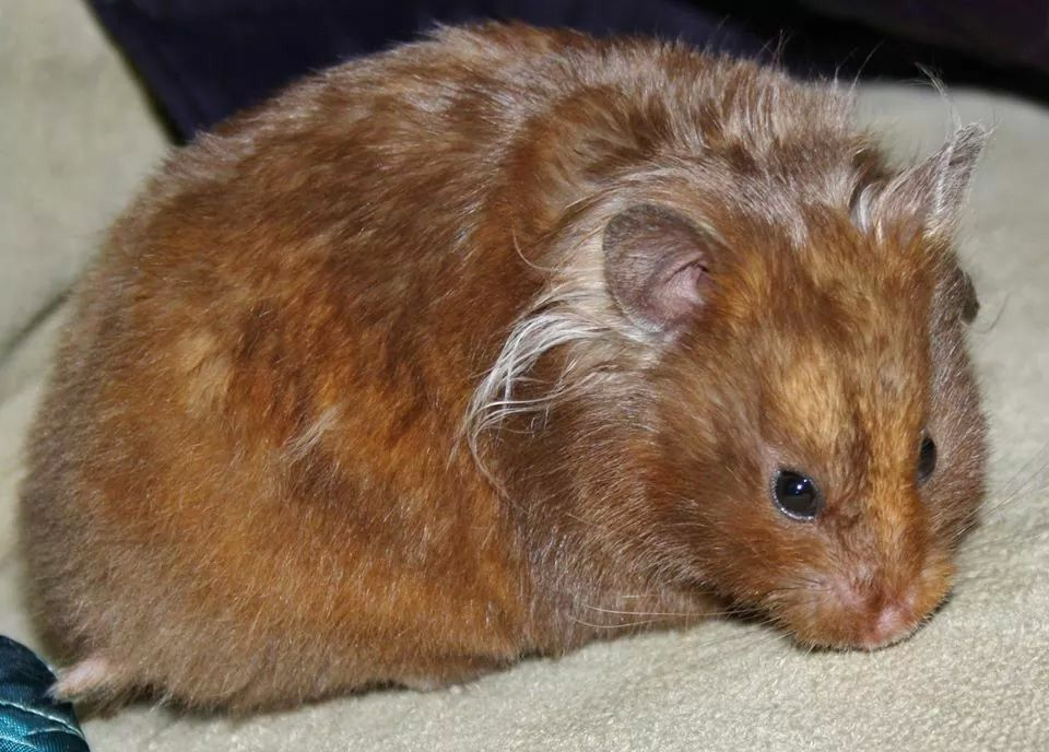 Chocolate Tort Lh Syrian Hamster Hamster Furry