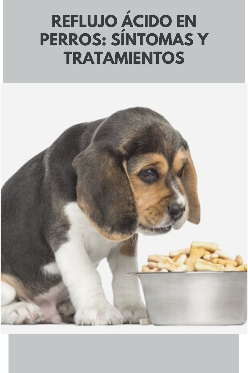 Reflujo ácido En Perros Síntomas Y Tratamientos Mis Animales Perros Comida Para Perros Recetas De Comida Para Perros