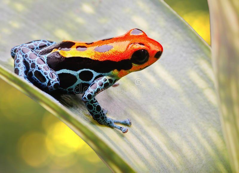 Tropical Poison Arrow Frog Amazon Animal Poison Arrow Frog Bright