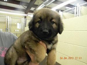 Adopt Tonka On Fluffy Puppies Cute Fluffy Puppies German