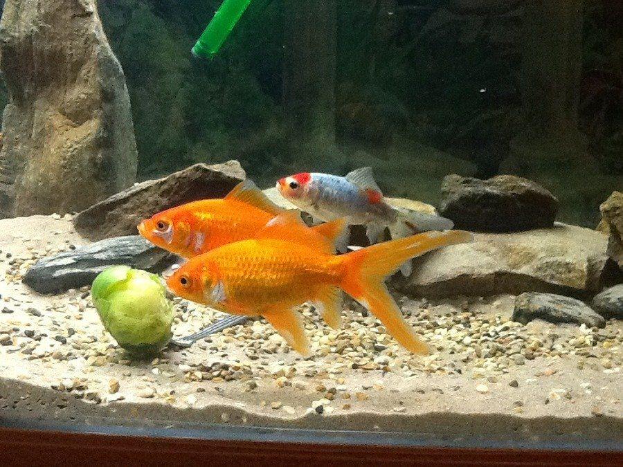 A Quick Blog About Vegetables For Goldfish Fish Pet Vegetables