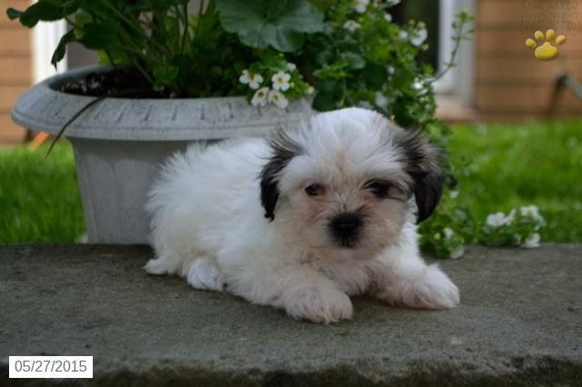 Wendy Shichon Puppy For Sale In Millersburg Oh Shichon