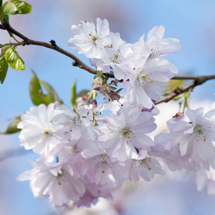 Japanese Cherry Japanese Cherry Japanese Cherry Blossom Cherry Blossom