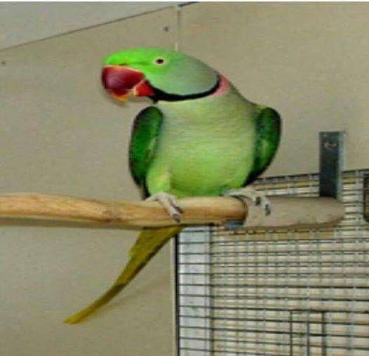 Lost Alexandrine Parrot / Bird Dianella, Western Australia