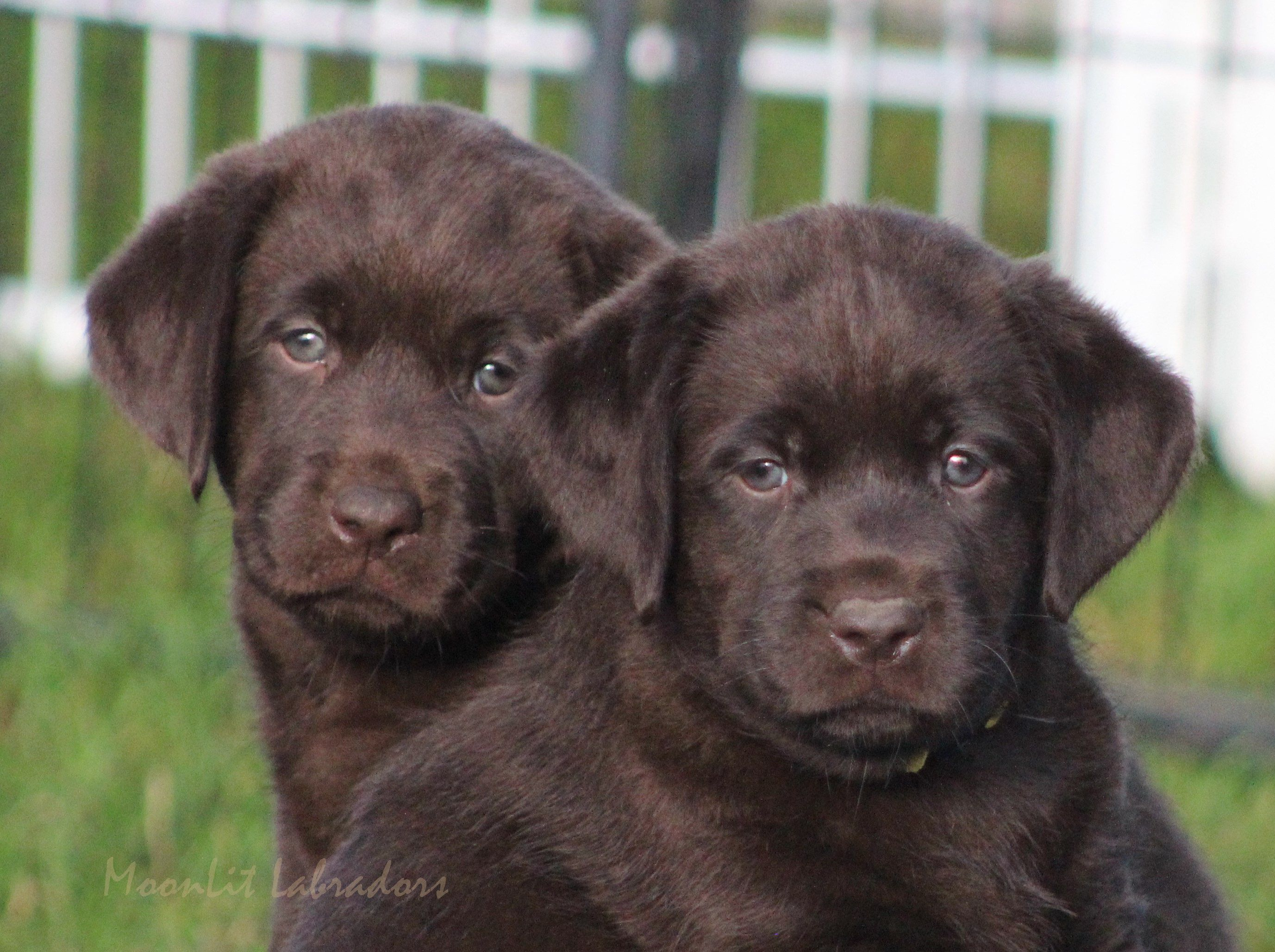 Moonlit Labradors Puppies Available Moonlit Labradors Black Yellow And Chocolate Labradors 716 Labrador Retriever Puppies Labrador Retriever Labrador