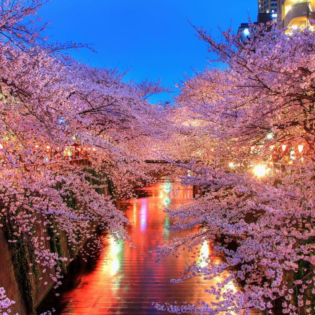 Download Wallpaper 1024x1024 O Hanami Blossom Sakura Japan Ipad Ipad 2 Ipad Mini Hd Background Blossom Trees Cherry Blossom Japan Cherry Blossom Tree