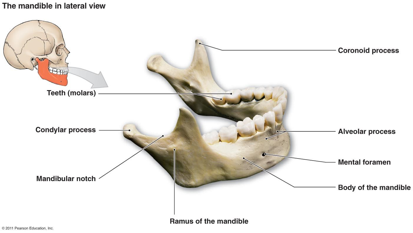 Only Movable Bone In The Face Largest And Strongest Facial Bone