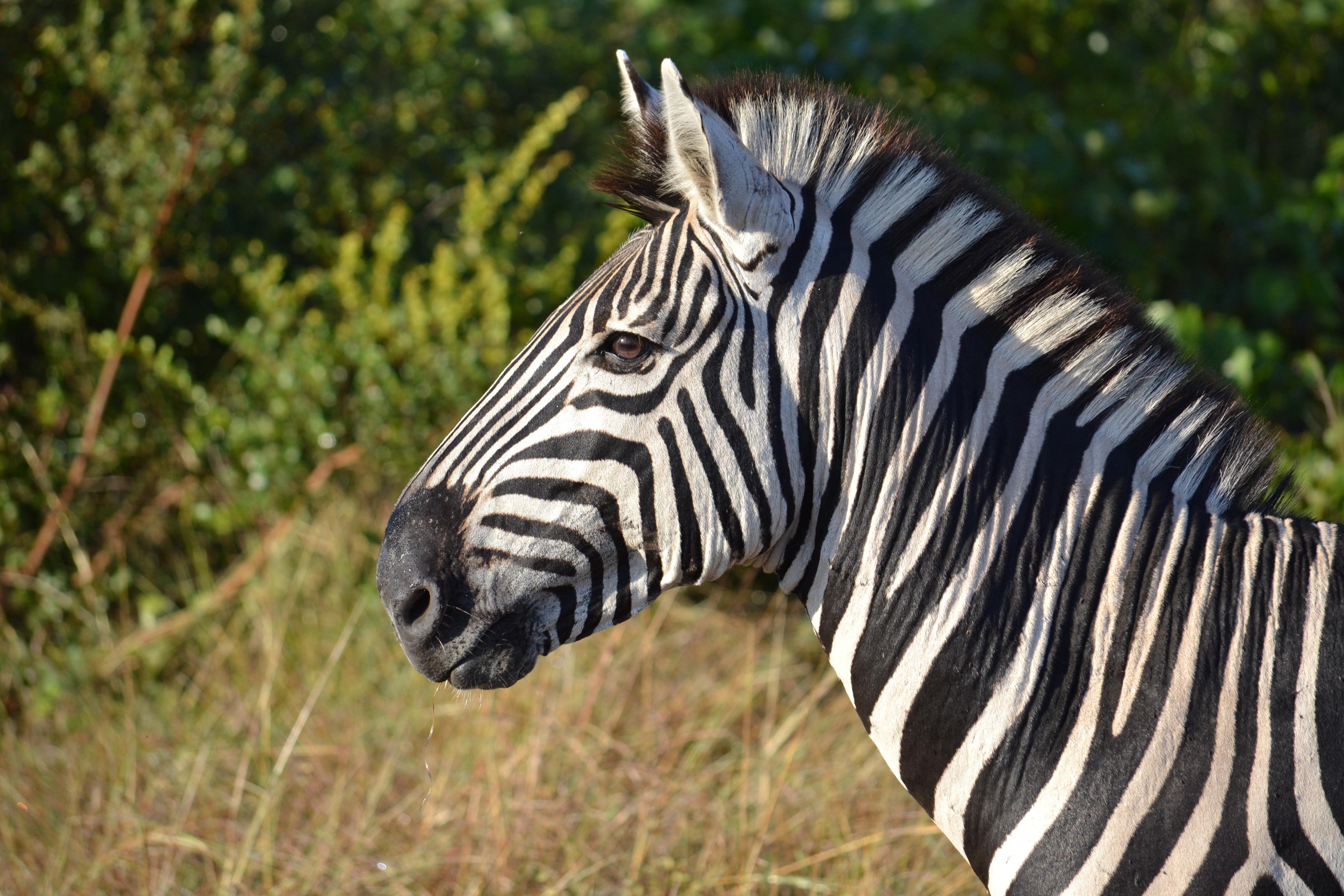 Pix For > Zebra Face Side | Animals | Pinterest | Zebra ...