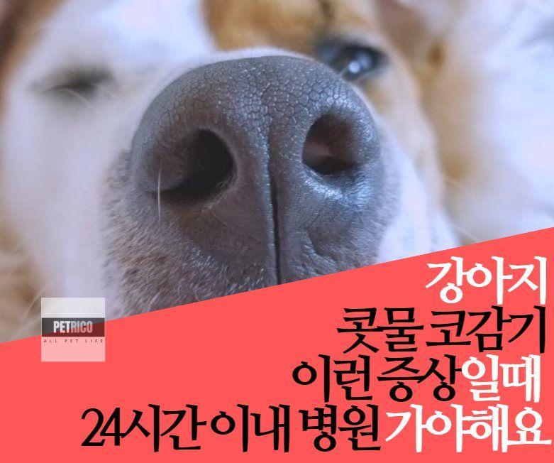 강아지 콧물 코감기 보일 때 심각한지 아닌지 증상알기 펫리코petrico 강아지