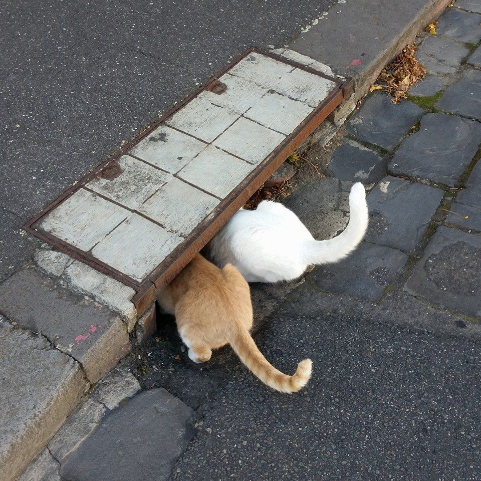Two Kitties Spotted Looking For Treasure In A Drain In Parkville Melbourne Cats Photos Shag Rug Decor Home Decor