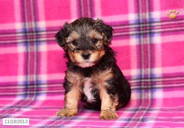 Yorkiepoo Puppy For Sale Yorkie Poo Puppies Puppies For Sale