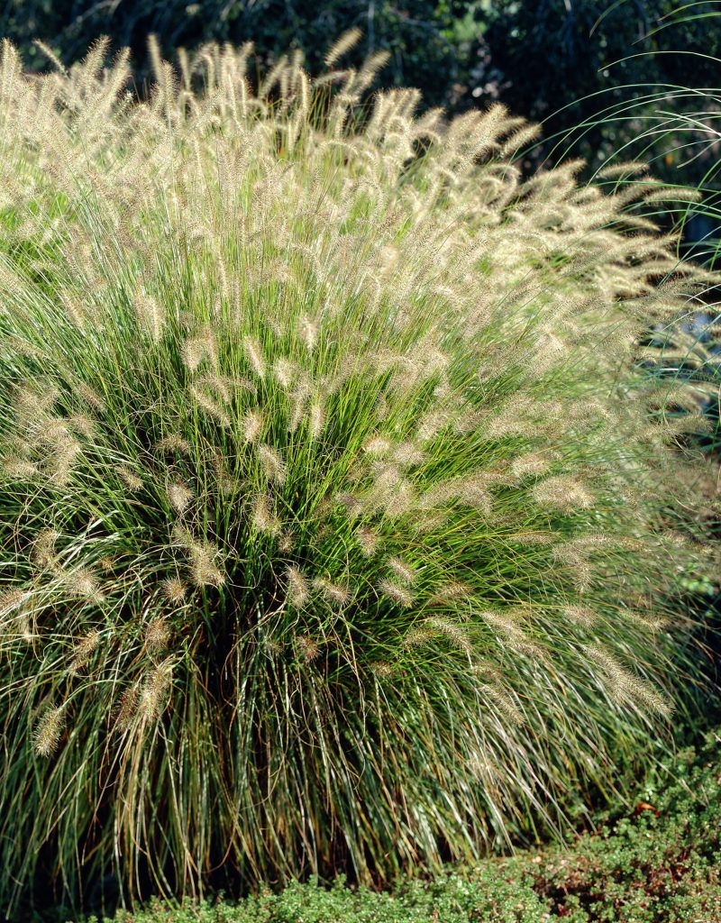 Chinese fountain grass 39 hameln 39 pennisetum alopecuroides for Fountain grass