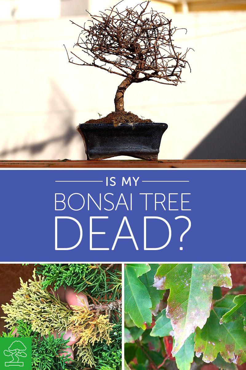 Is My Bonsai Tree Dead Basic Bonsai Bonsai Tree Indoor Bonsai Tree Bonsai Tree Care